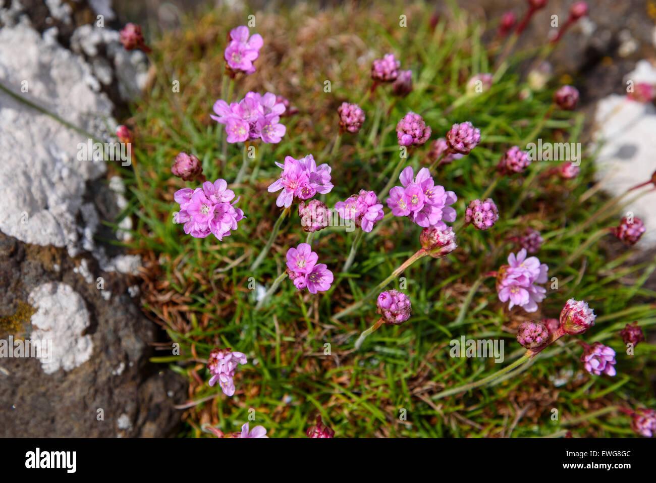 Thrift, Armeria maritima, wildflower, Isle of Ulva, Hebrides, Argyll and Bute, Scotland - Stock Image