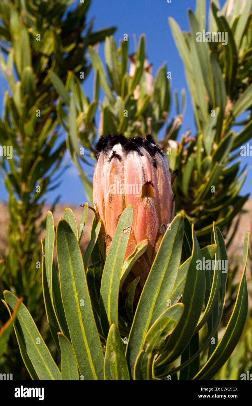 Protea with pink petals with fuzzy black tips pure blue skies stock protea with pink petals with fuzzy black tips pure blue skies mightylinksfo