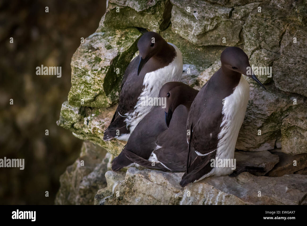 Three guillemots on a ledge - Stock Image
