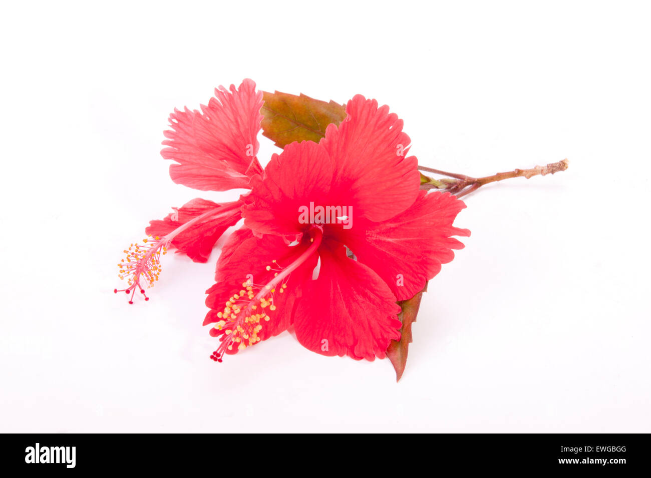Red Hibiscus Flowers Stock Photos & Red Hibiscus Flowers Stock ...