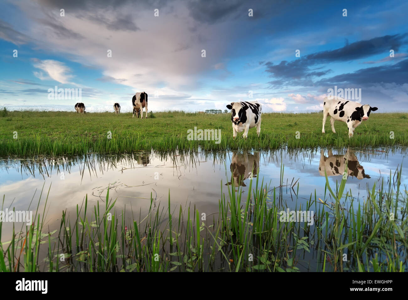 cows on pasture by river over sunset sky - Stock Image