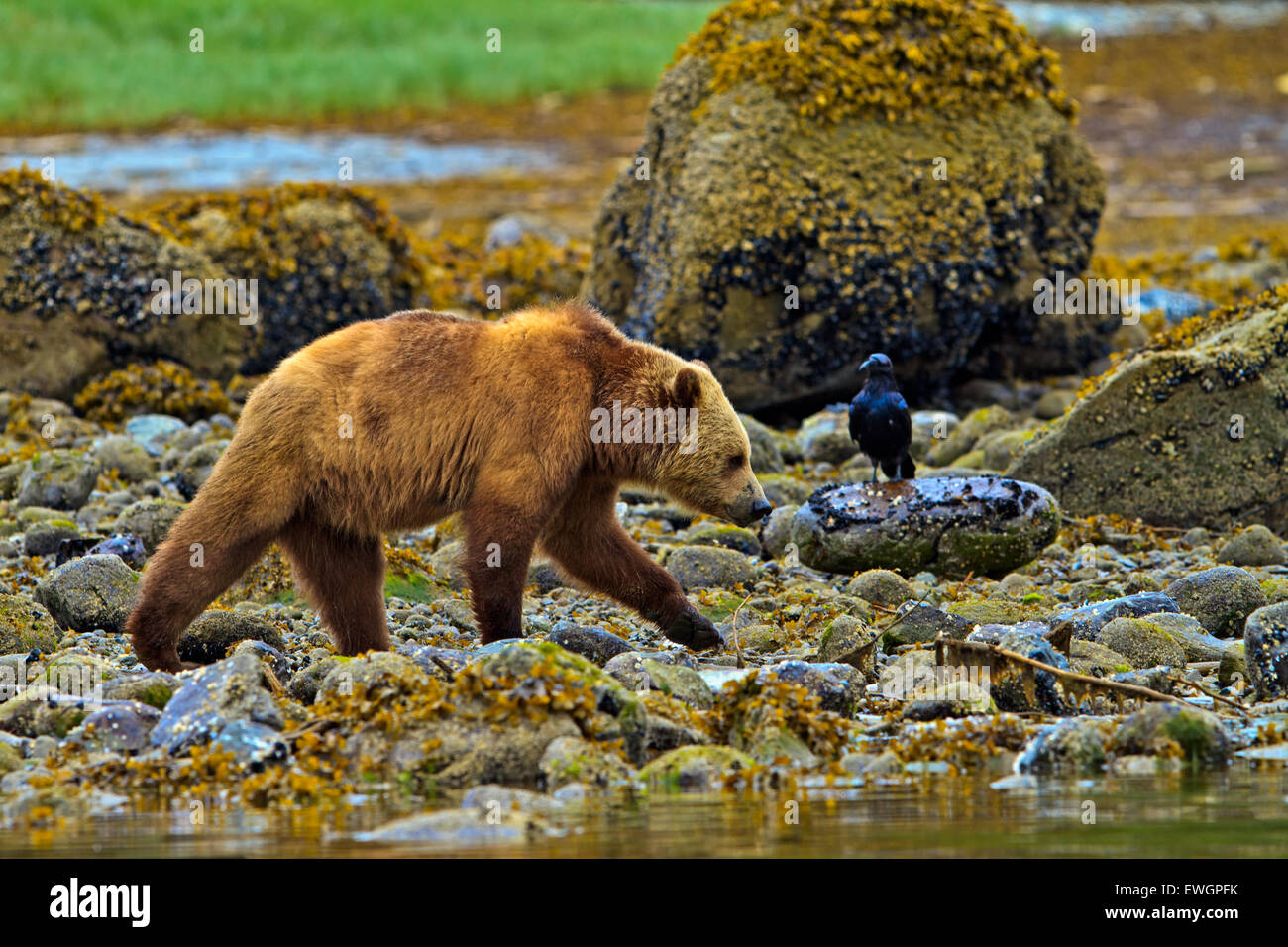 Coastal Grizzly bear and raven, searching for food at low tide on the British Columbia Mainland, Canada - Stock Image