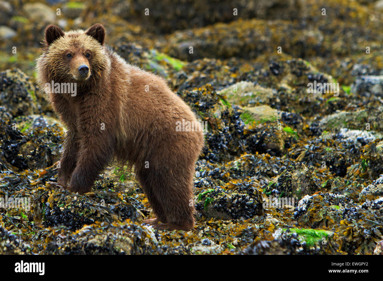 Coastal Grizzly bear cub searching for food at low tide on the British Columbia Mainland, Canada - Stock Image