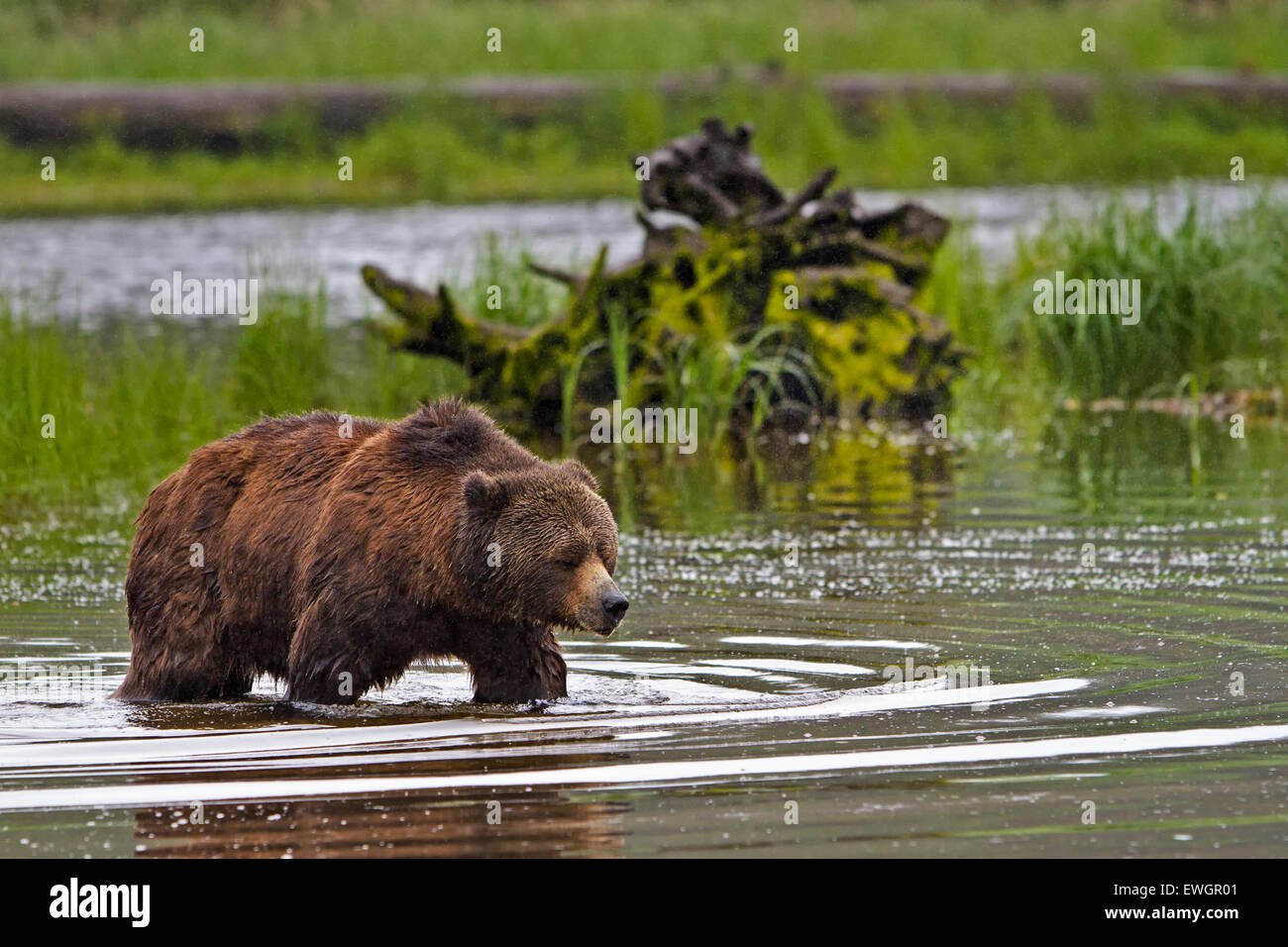 Coastal Grizzly bear searching for food at low tide on the British Columbia Mainland, Canada - Stock Image