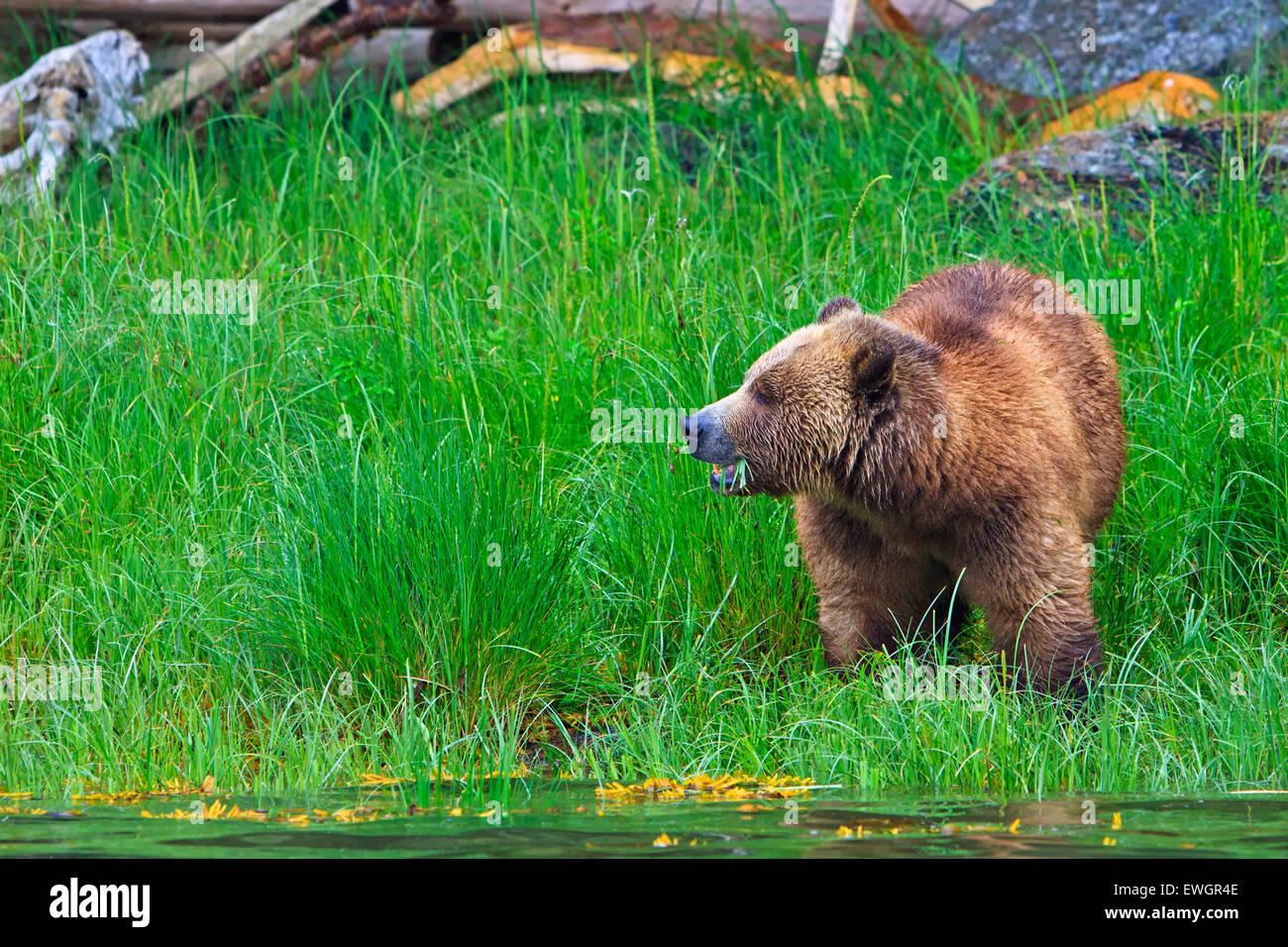Female coastal Grizzly bear searching for food at low tide on the British Columbia Mainland, Canada - Stock Image