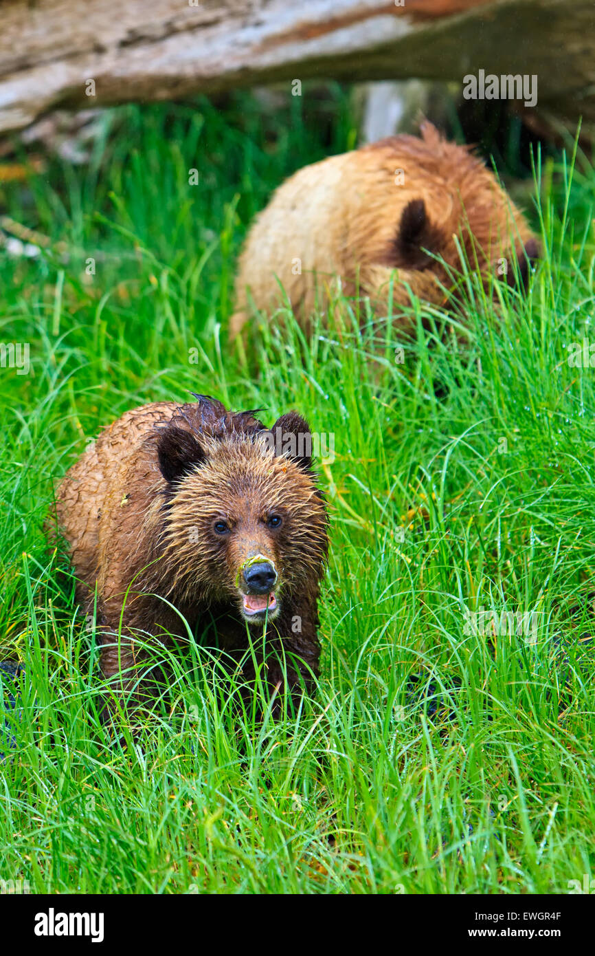 Coastal Grizzly bear cubs searching for food at low tide on the British Columbia Mainland, Canada - Stock Image