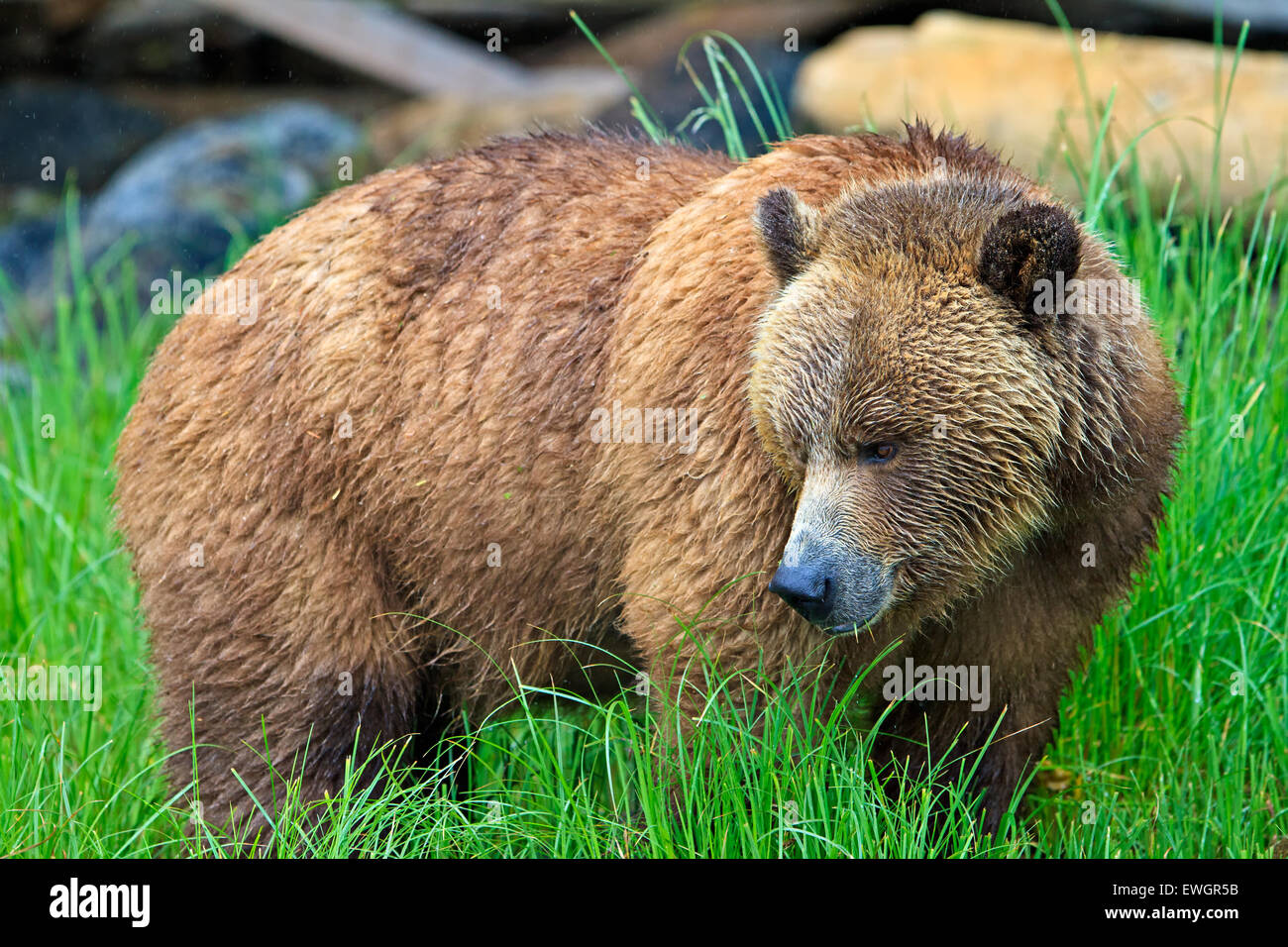 Coastal Grizzly bear foraging on a rainy day along the coast of British Columbia, Canada - Stock Image