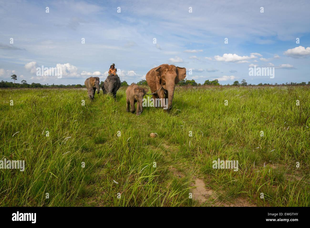 Herds of Sumatran elephants (Elephas maximus sumatranus) on Way Kambas National Park grassland. - Stock Image