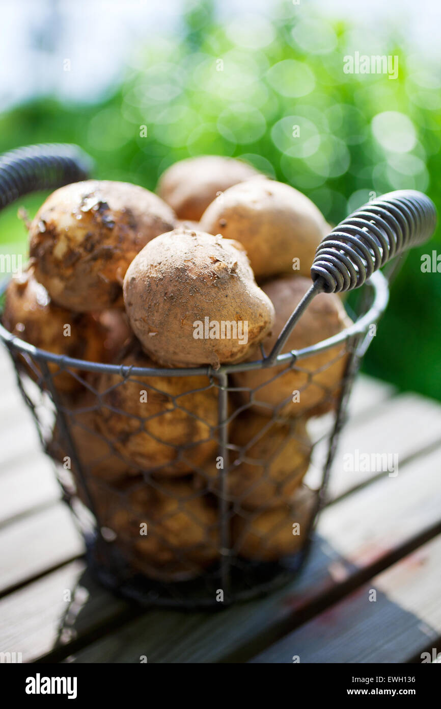 Fresh uncooked potatoes in wire basket - Stock Image