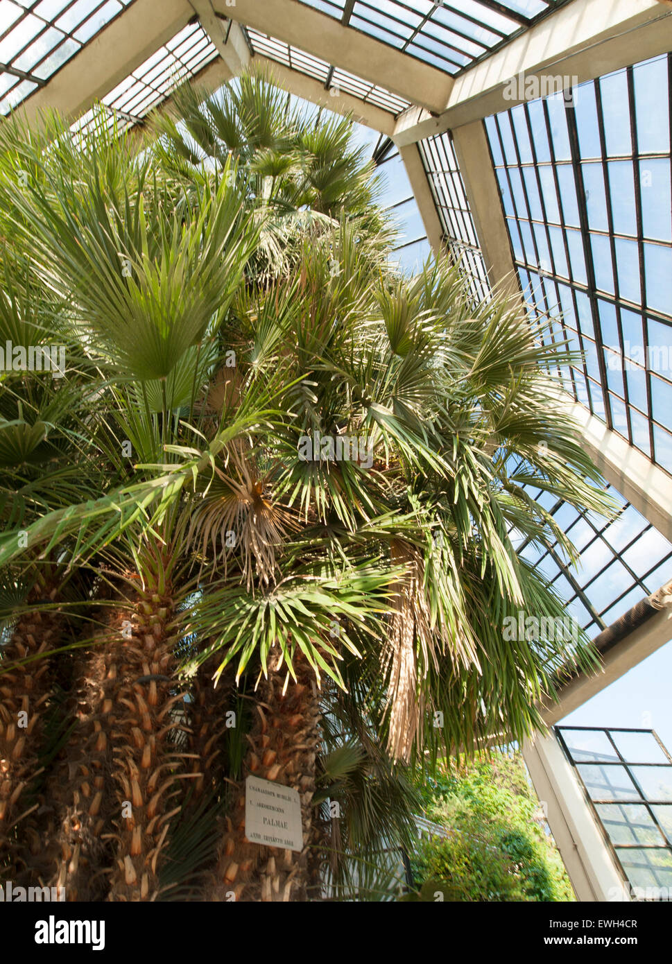 The so-called 'Goethe Palm' at Padua's Orto Botanico, the world's oldest academic botanical garden. - Stock Image