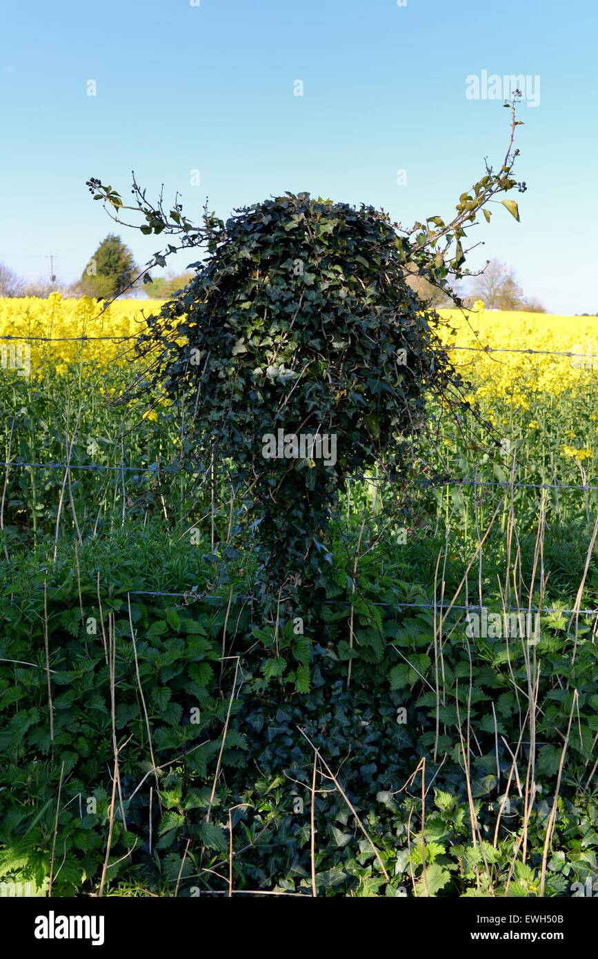 A vine growing round a barbed fence post takes on a human form. - Stock Image