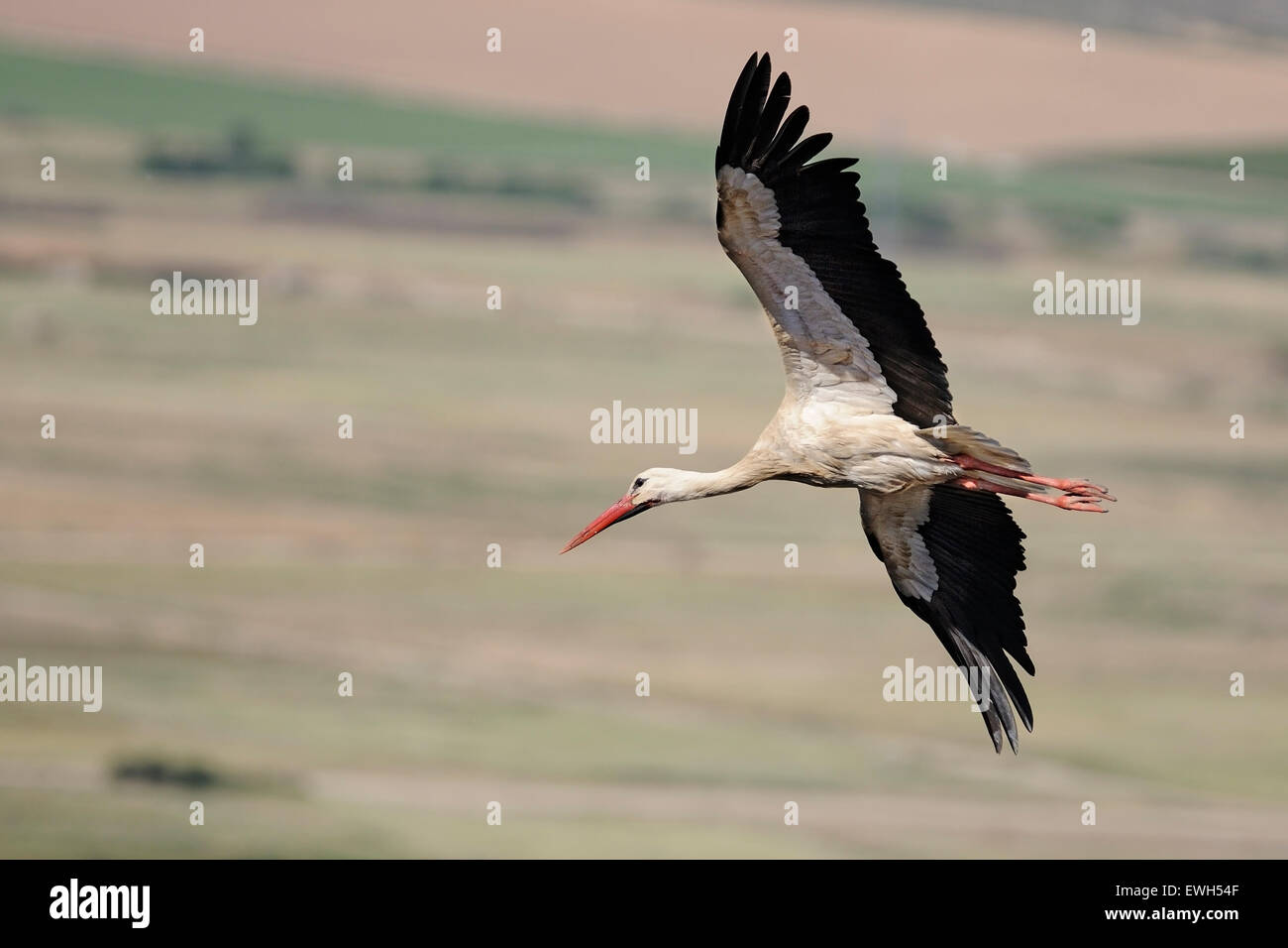 Horizontal portrait of of white stork, Ciconia ciconia, adult flying over farm fields Stock Photo