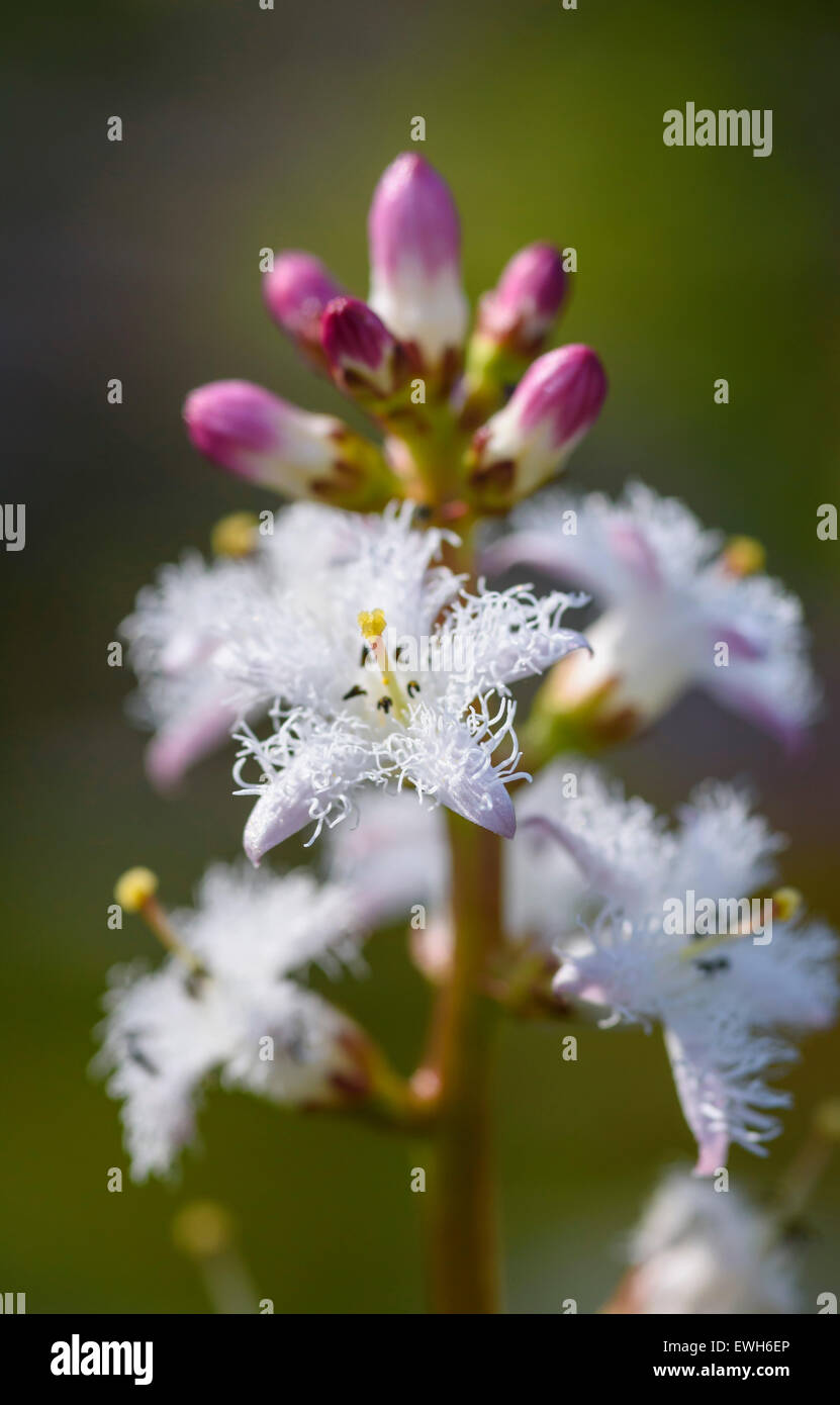 Bogbean, Menyanthes trifoliata, wildflower, Dumfries & Galloway, Scotland - Stock Image
