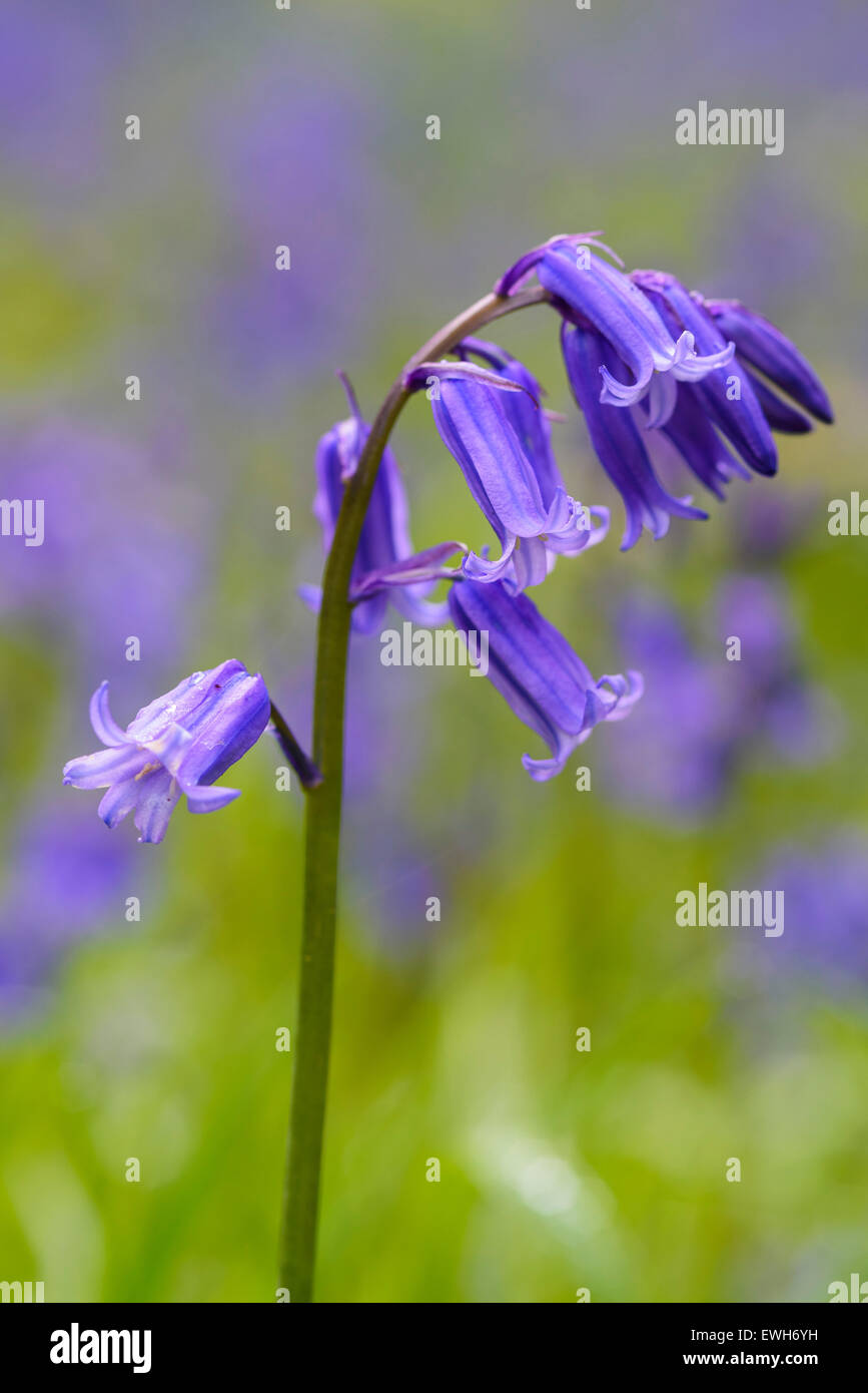 Bluebell, Hyacinthoides non-scripta, Endymion non-scriptus, wildflower, Carstramon Wood, Dumfries & Galloway, - Stock Image