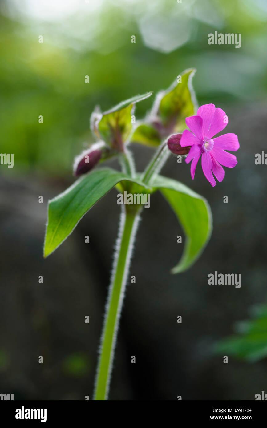 Red Campion, Silene dioica, wildflower, Dumfries & Galloway, Scotland Stock Photo