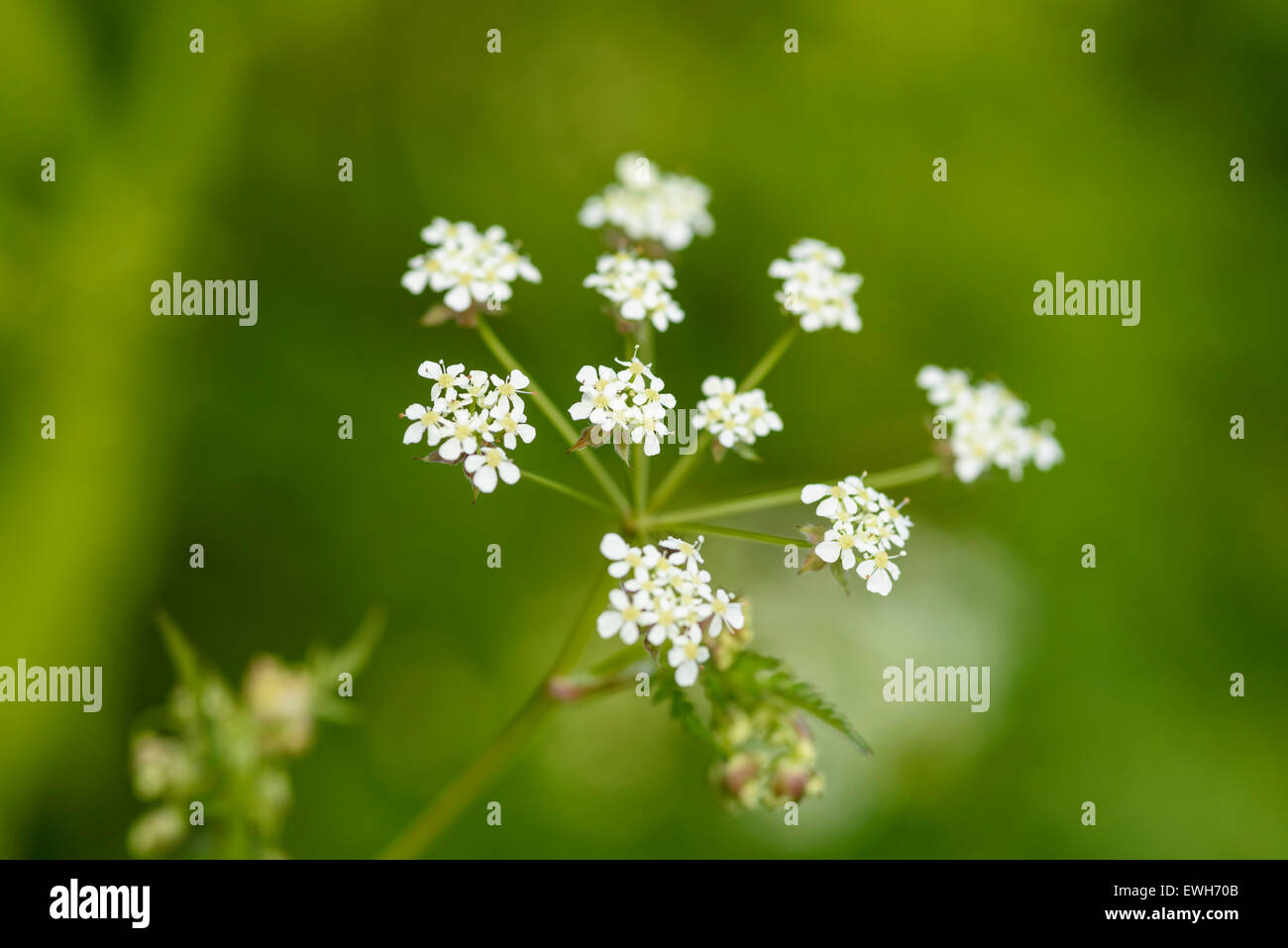 Cow Parsley, Anthriscus sylvestris, wildflower, Dumfries & Galloway, Scotland - Stock Image