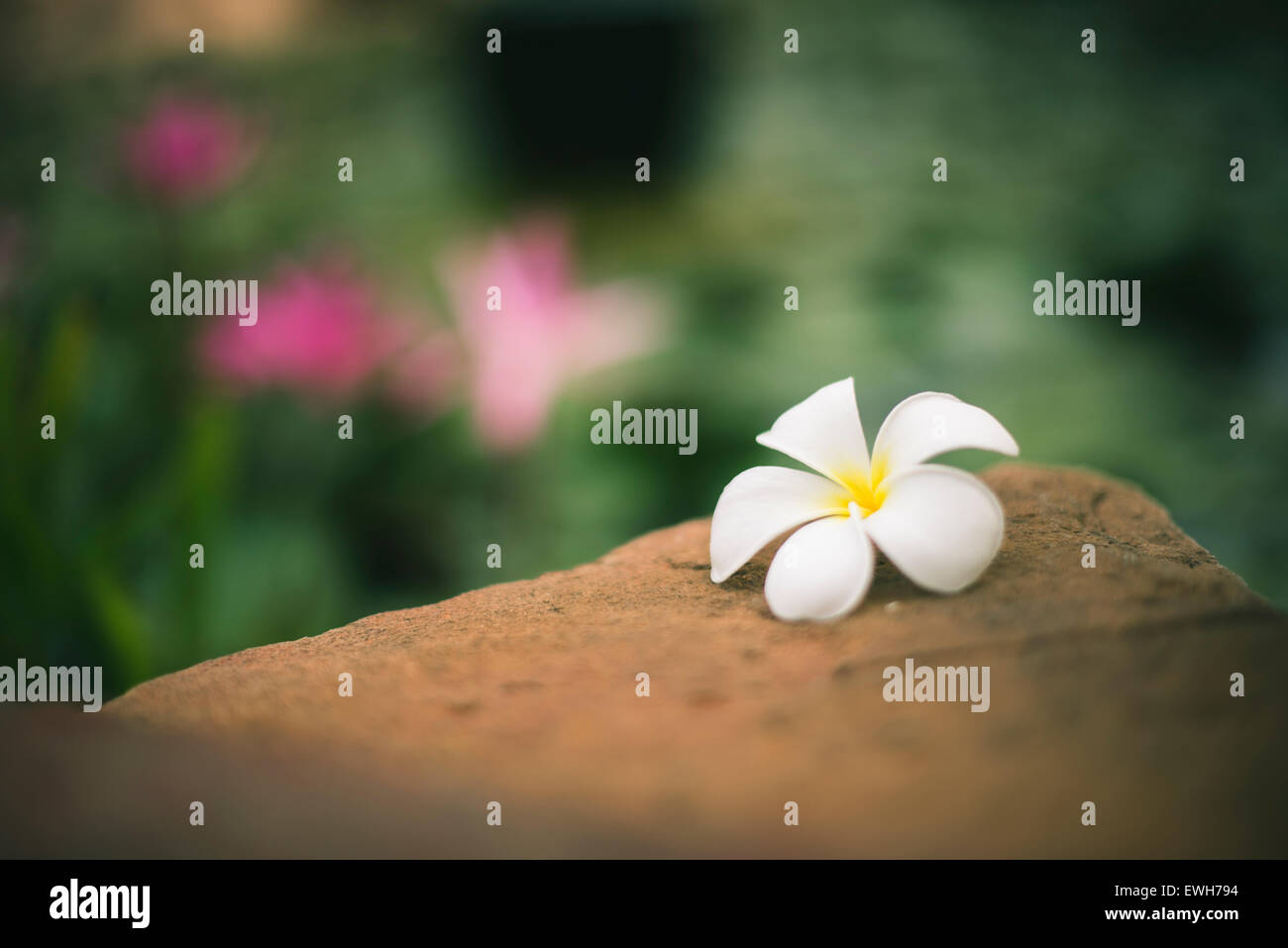 Frangipani flower near a lily pond, in Broome Stock Photo