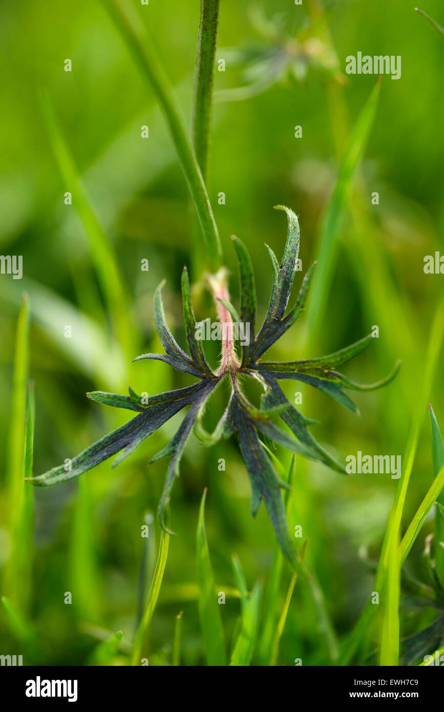 Leaf of Meadow Buttercup, Ranunculus acris, wildflower - Stock Image