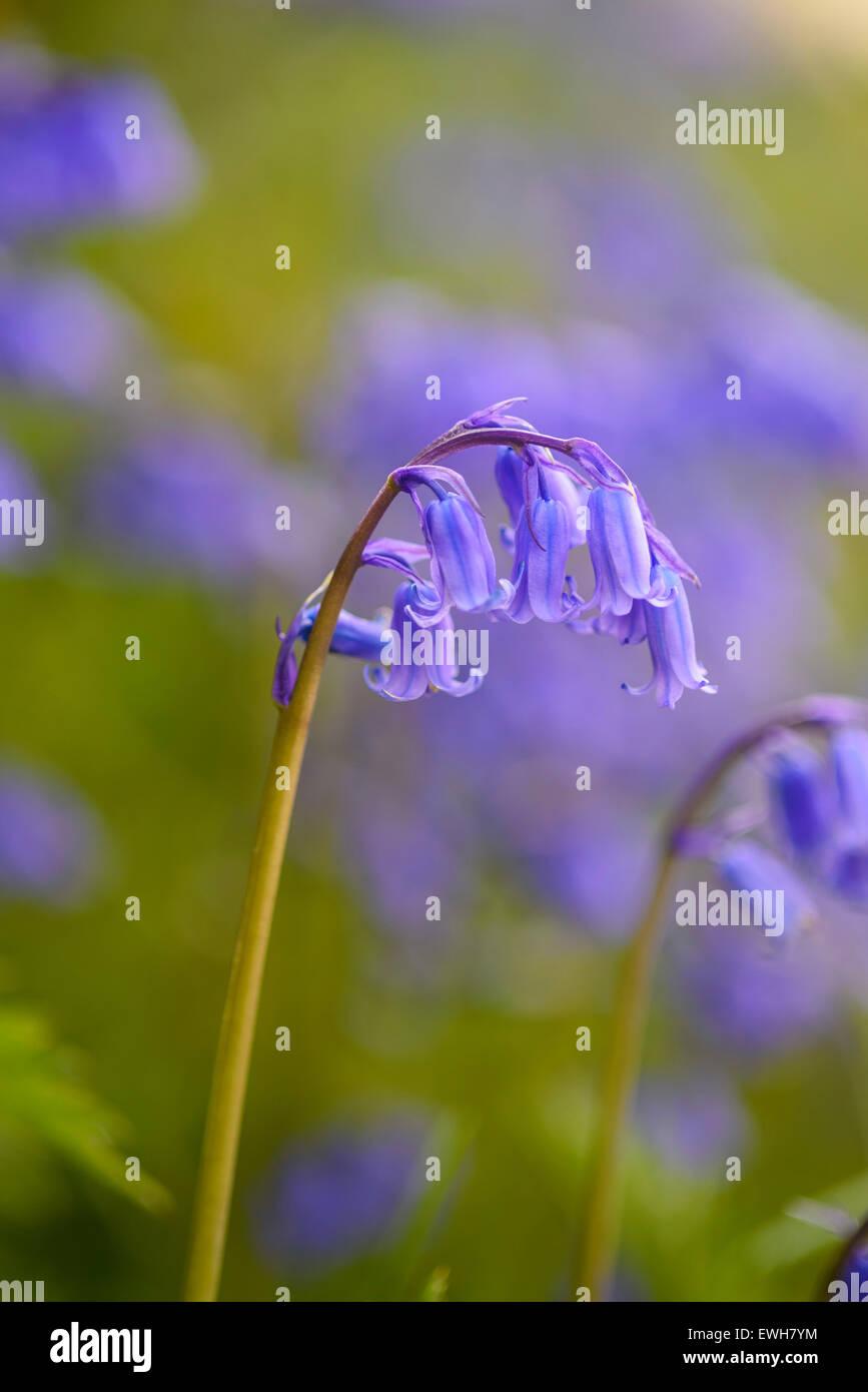 Bluebell, Hyacinthoides non-scripta, Endymion non-scriptus, wildflower, Dumfries & Galloway, Scotland - Stock Image
