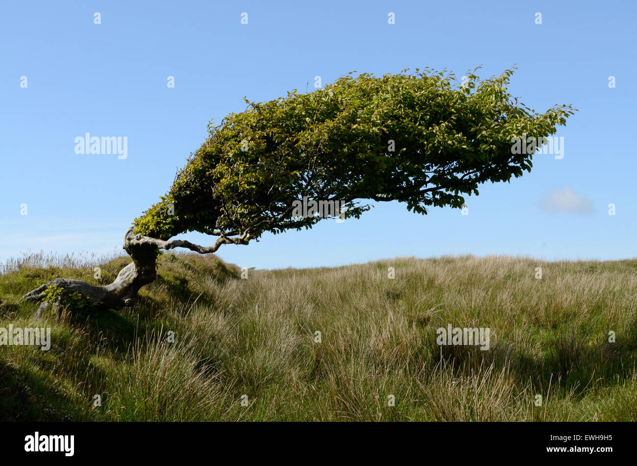 Beech trees shaped by the wind against a blue sky Tarka Trail Exmoor National Park Devon - Stock Image