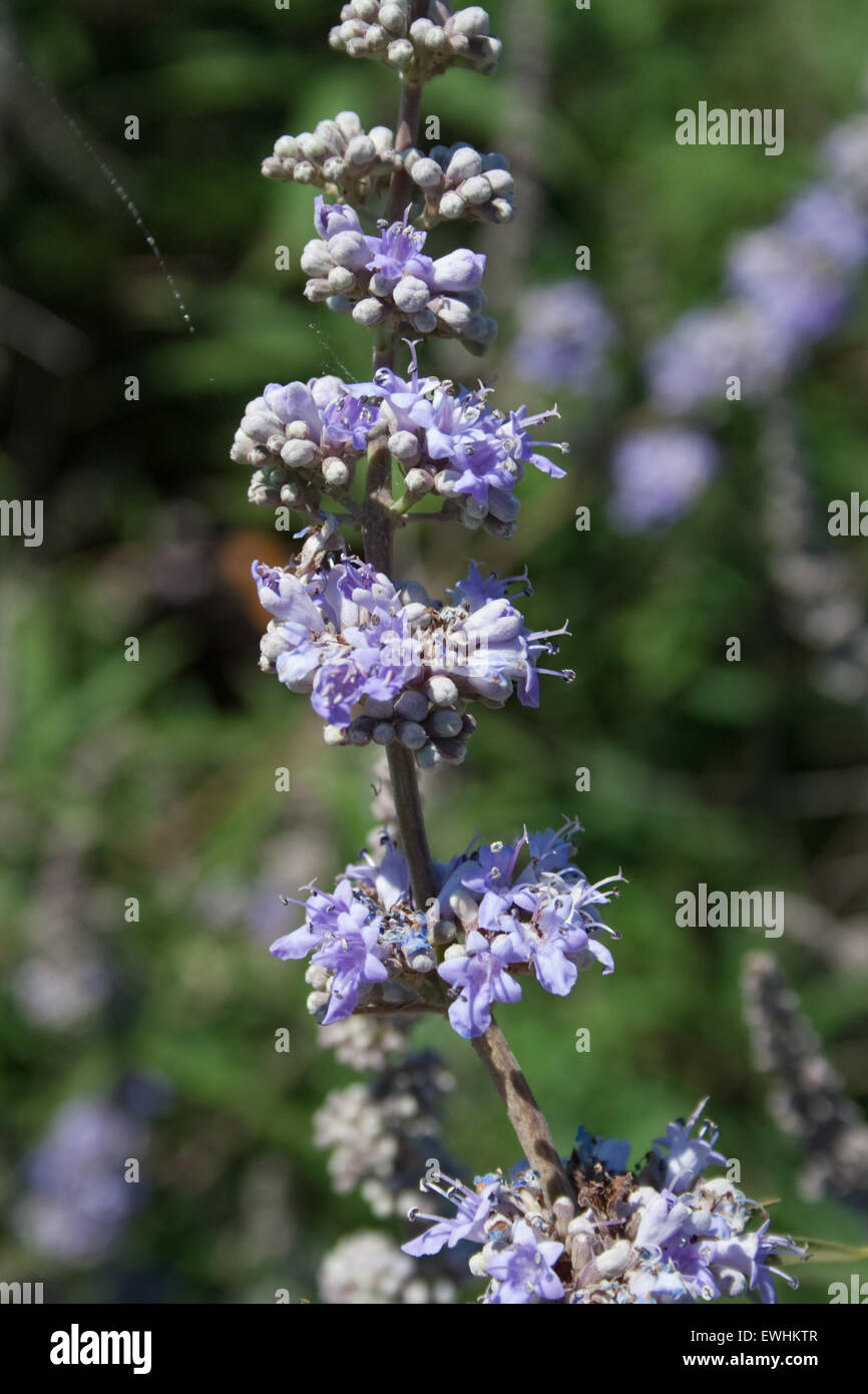 """Closeup of Chaste Tree / Monk's Pepper blossoms and branch sp. Vitex agnus-castus """"ligaria""""  Lemnos / limnos Island, Stock Photo"""