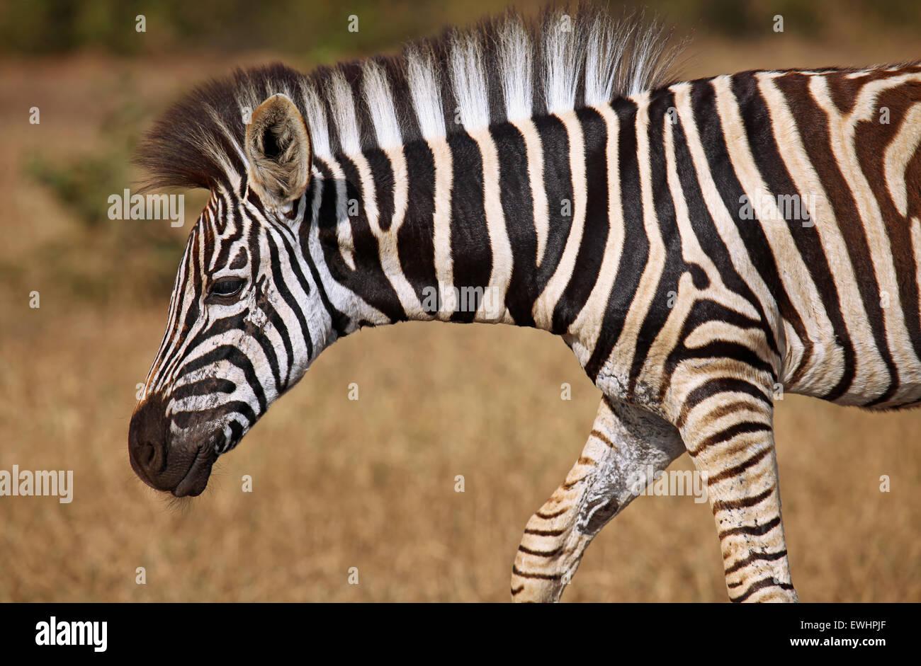 Young Plains Zebra, Perissodactyla, Equus quagga - Stock Image