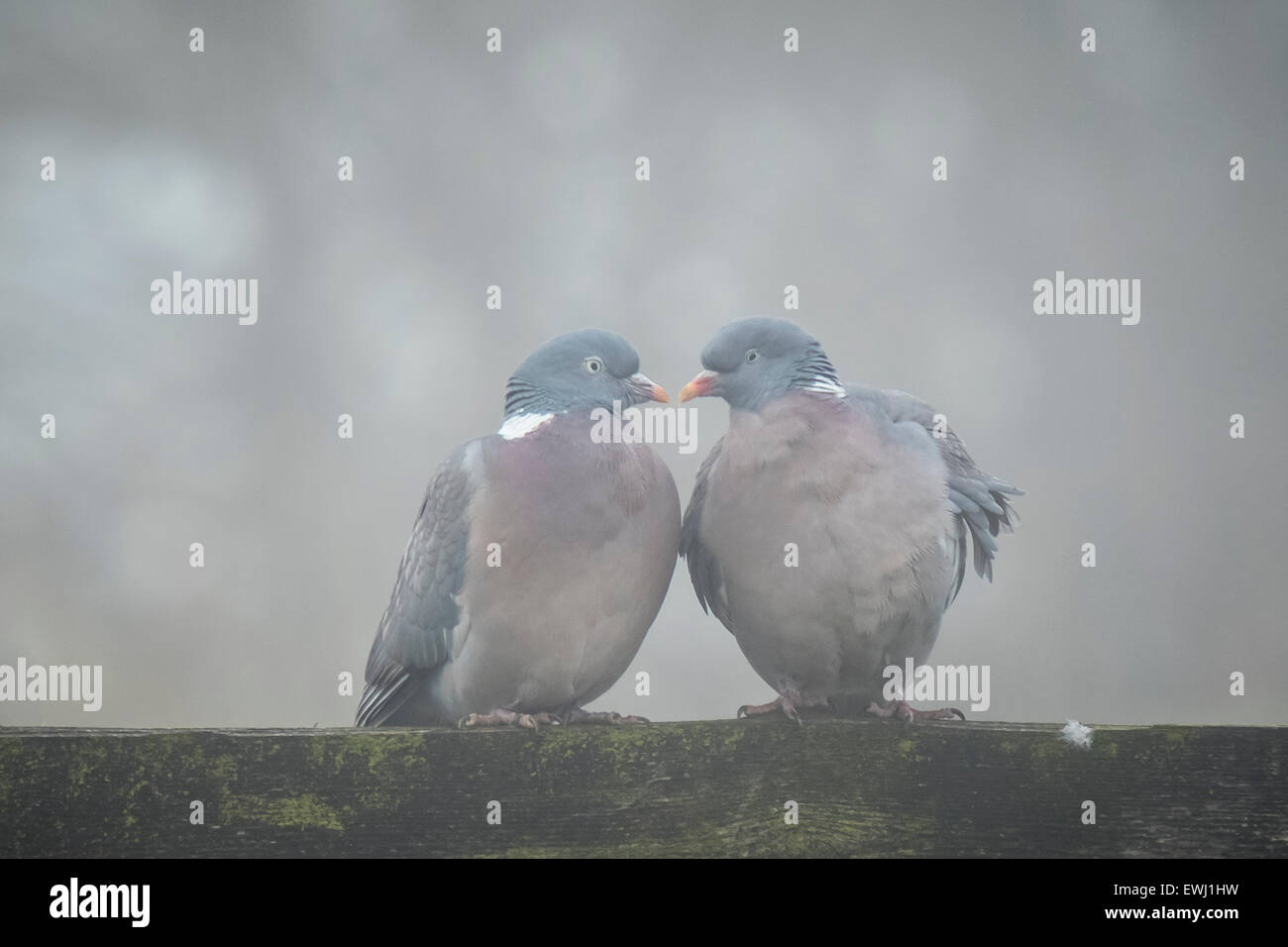 Two doves flirting in a gray and cold environment, they form the shape of a heart - Stock Image