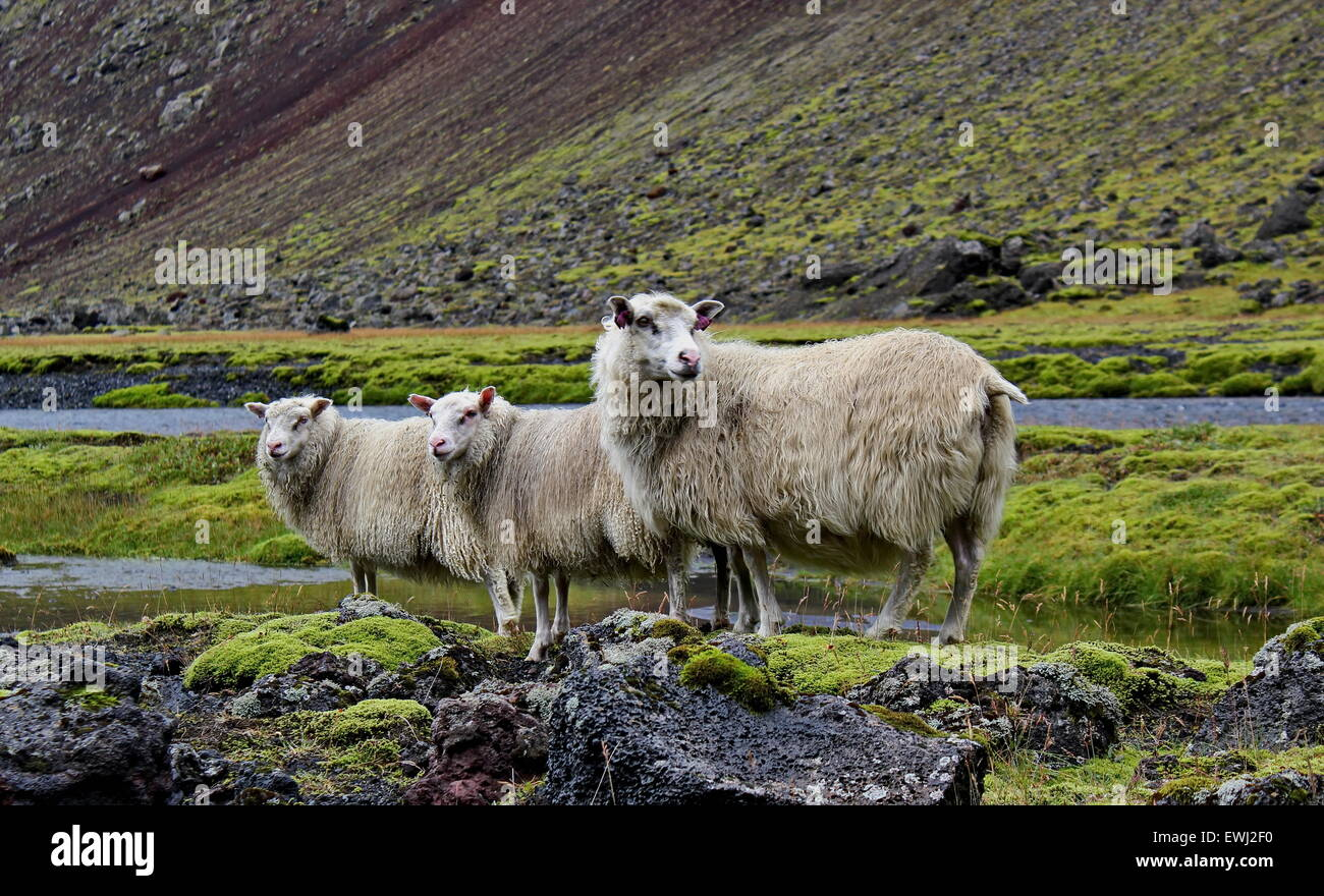 sheep on lava field, Iceland - Stock Image