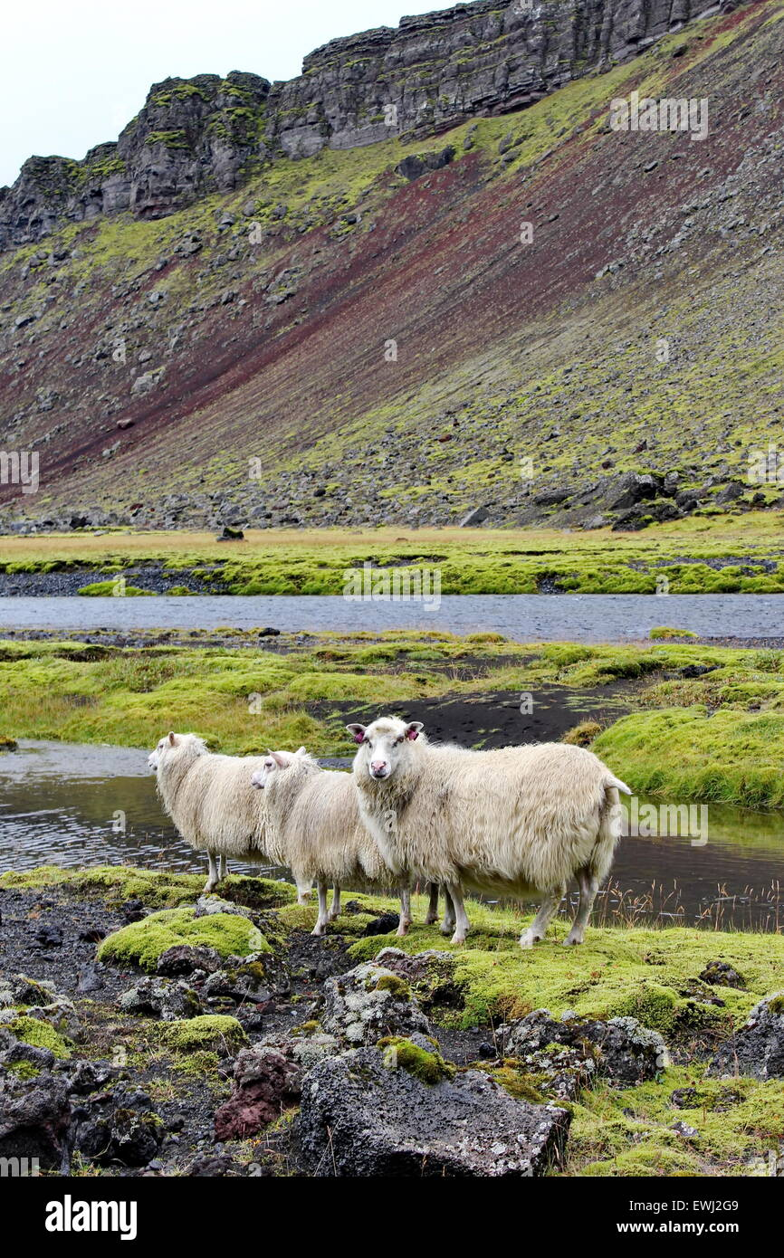 icelandic sheep on lava field - Stock Image