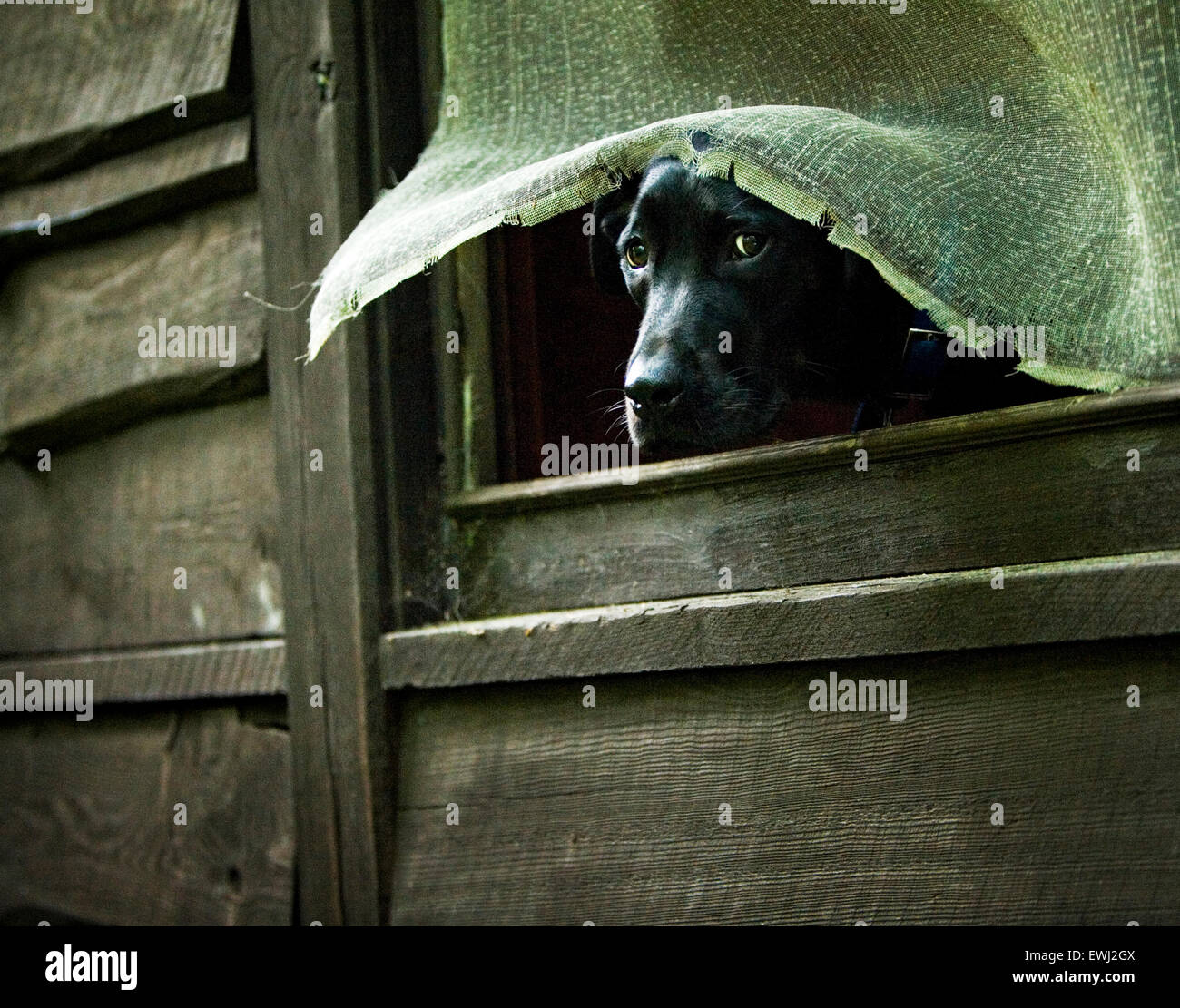 Large black Labrador Retriever dog sticking his head through a broken screen window of an old wood sided cabin - Stock Image