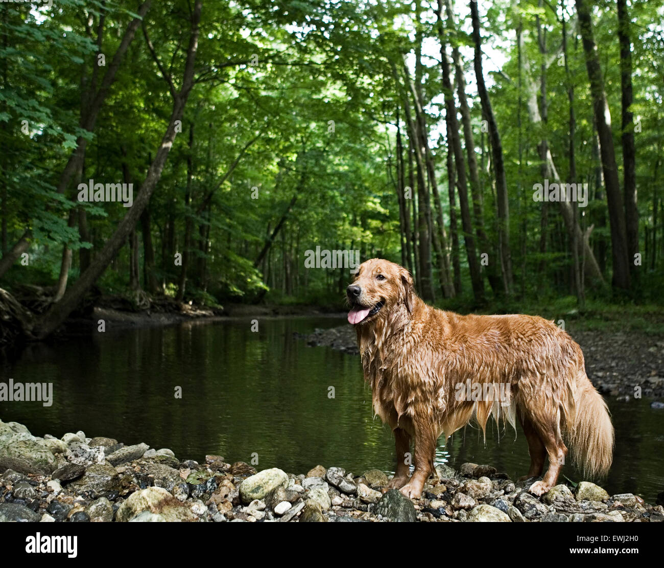 Soaking wet Golden Retriever dog standing on rocks at the shore of a stream in the woods - Stock Image