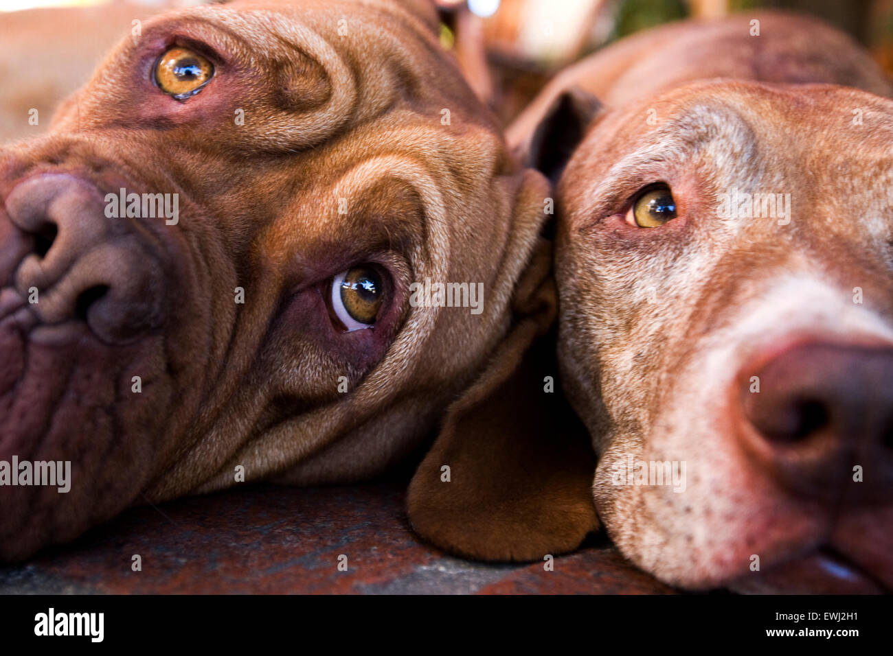 Close up of two very expressive dogs faces laying down next to each other - Stock Image