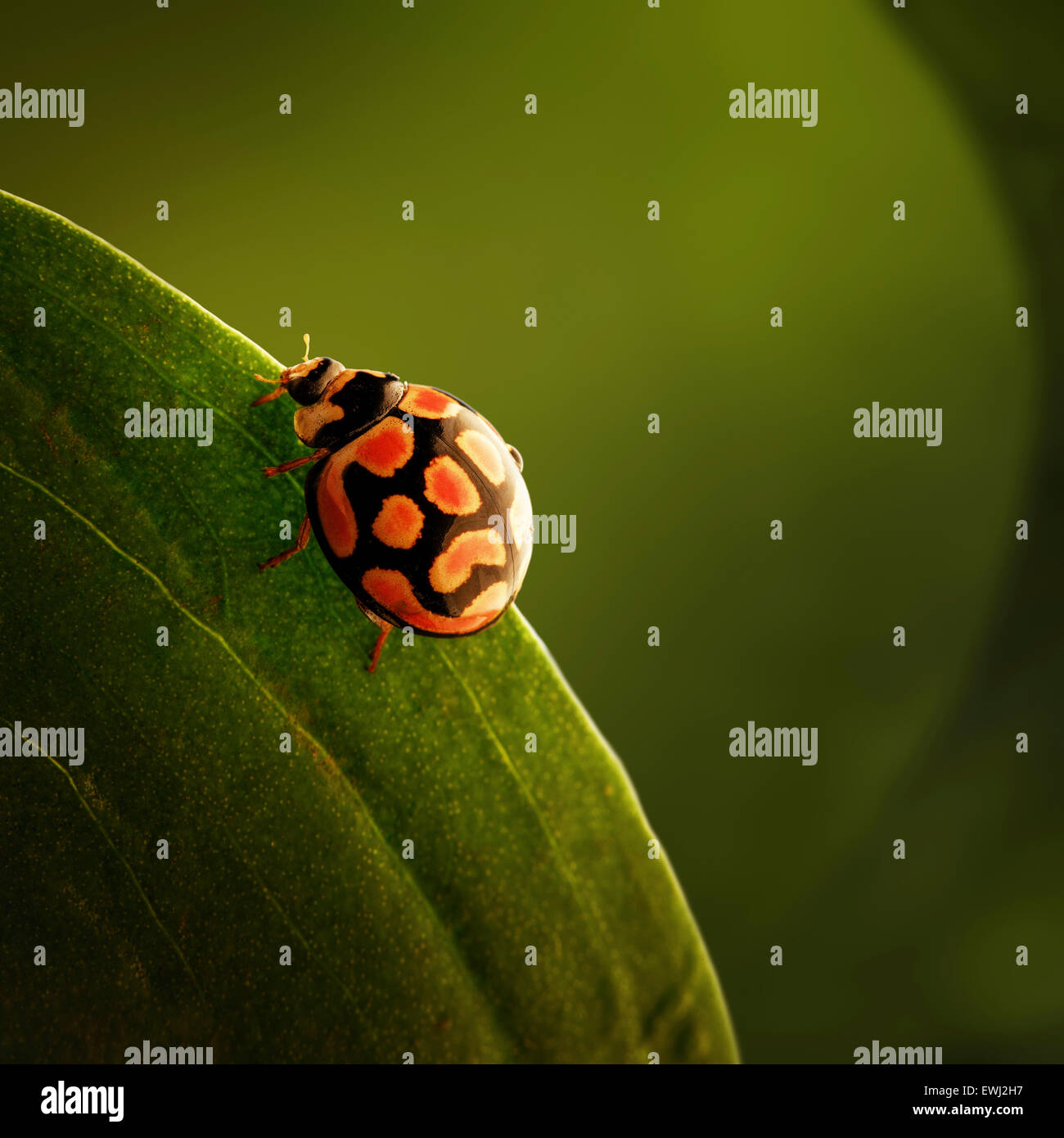Ladybug (ladybird) crawling on the edge of a green leaf (South Africa - Mpumalanga) - Stock Image