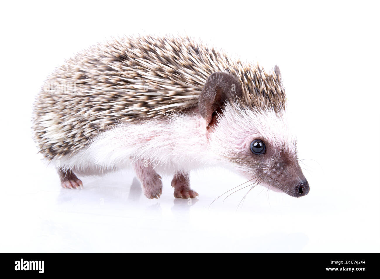 Small male of hedgehog on white background. - Stock Image