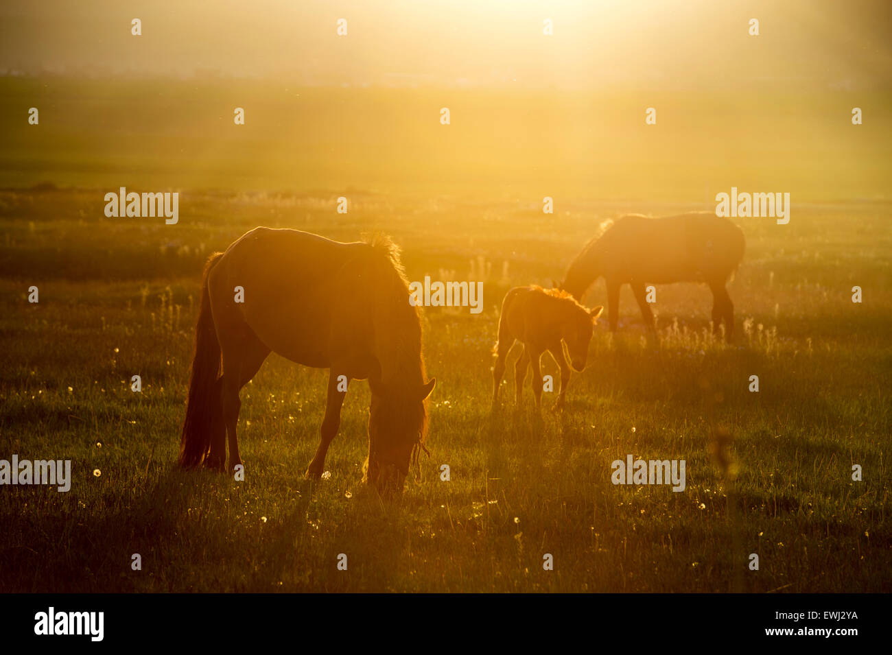 The sunset shines horses on the beautiful Keerkante grassland in Zhaosu county, Yili Kazakh Autonomous Prefecture, - Stock Image