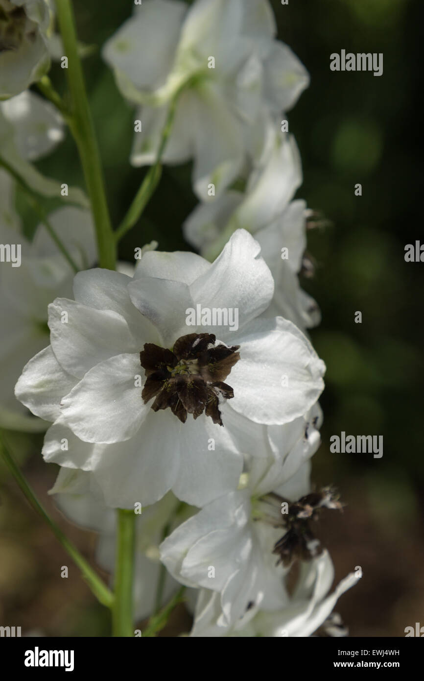 White Delphinium With Black Center Blooms In Summer Stock Photo