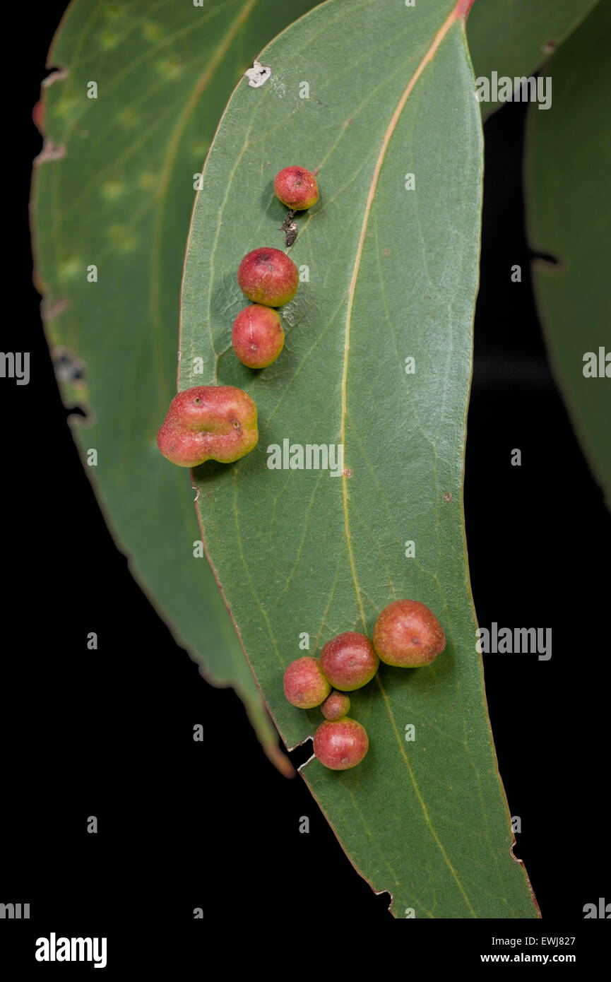 Psyllid galls on eucalypt leaf - Stock Image