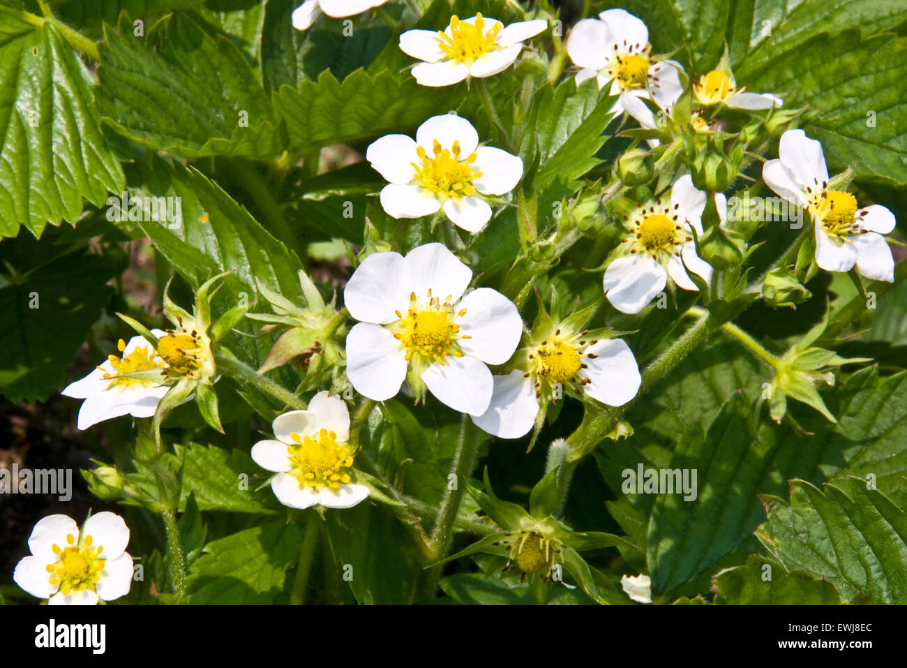 bee collects nectar from a flower of strawberry - Stock Image