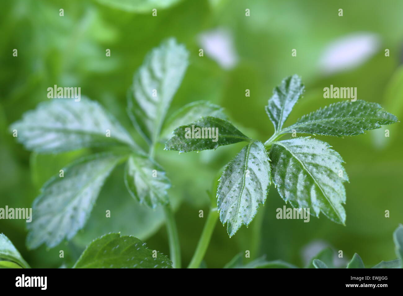 Immortal Plant Stock Photos Immortal Plant Stock Images Alamy