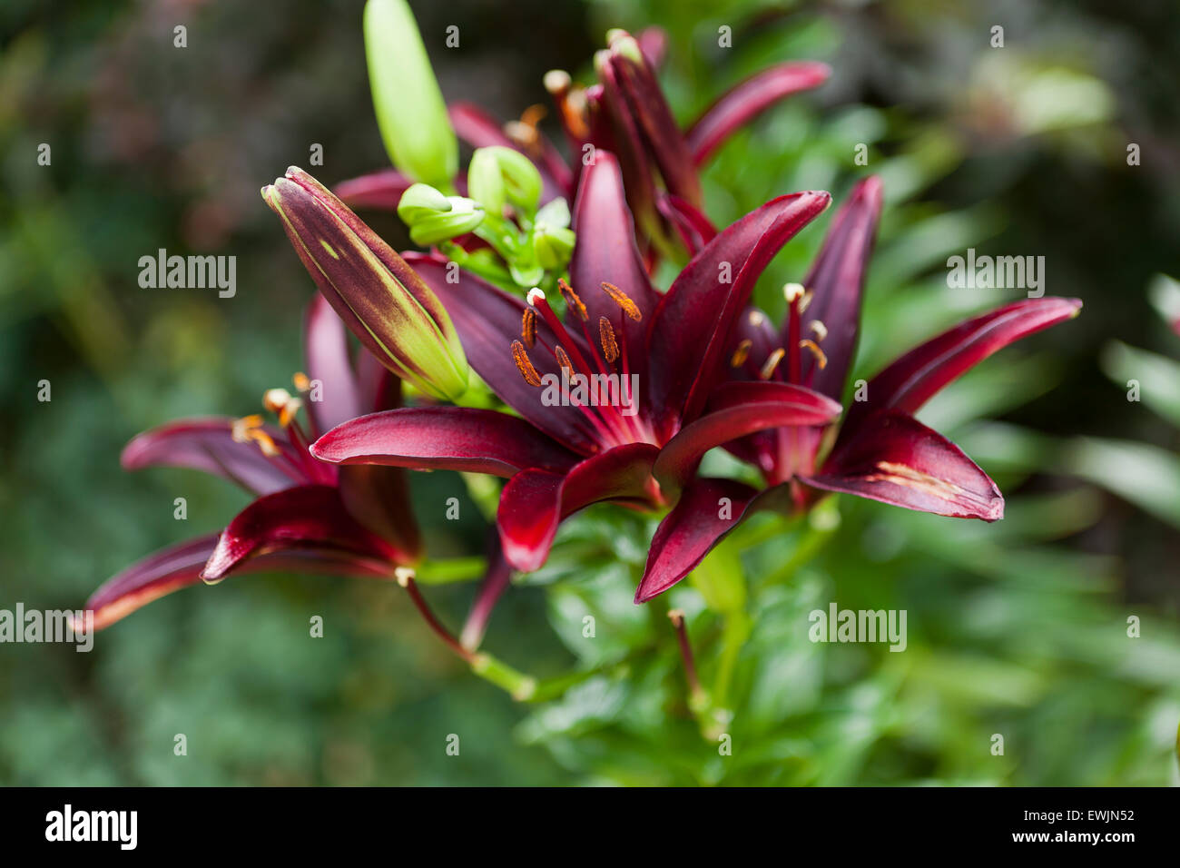Landini Asiatic lily flowers (Lilium) - USA - Stock Image