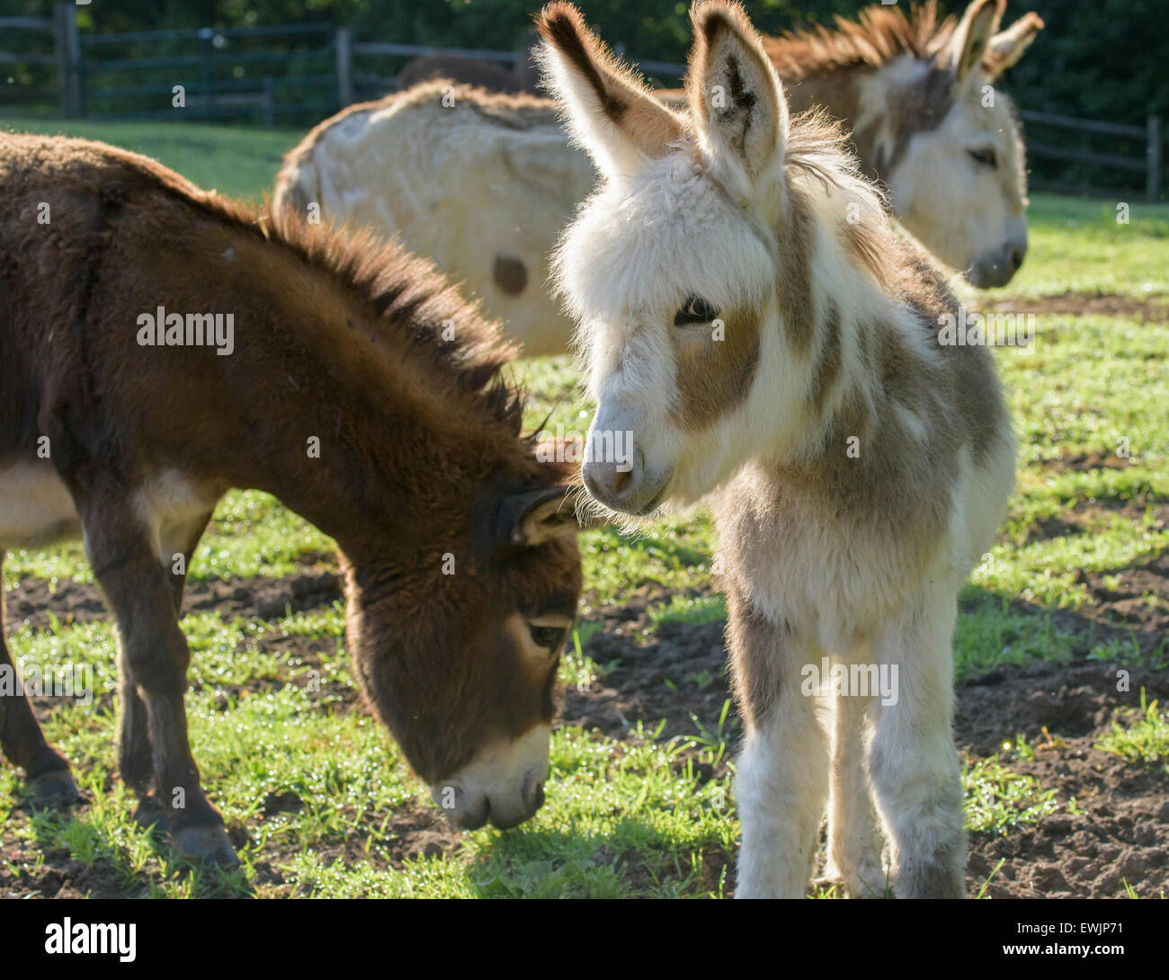 Miniature donkey jenny and foal - Stock Image