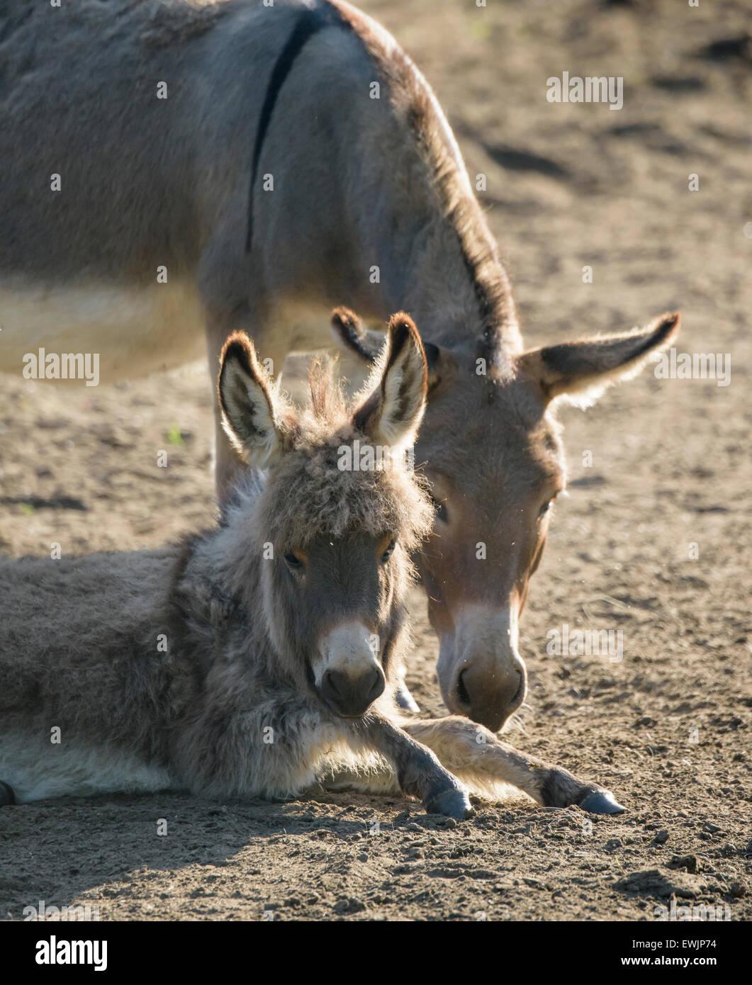 Miniature Donkey Stock Photos & Miniature Donkey Stock Images - Alamy