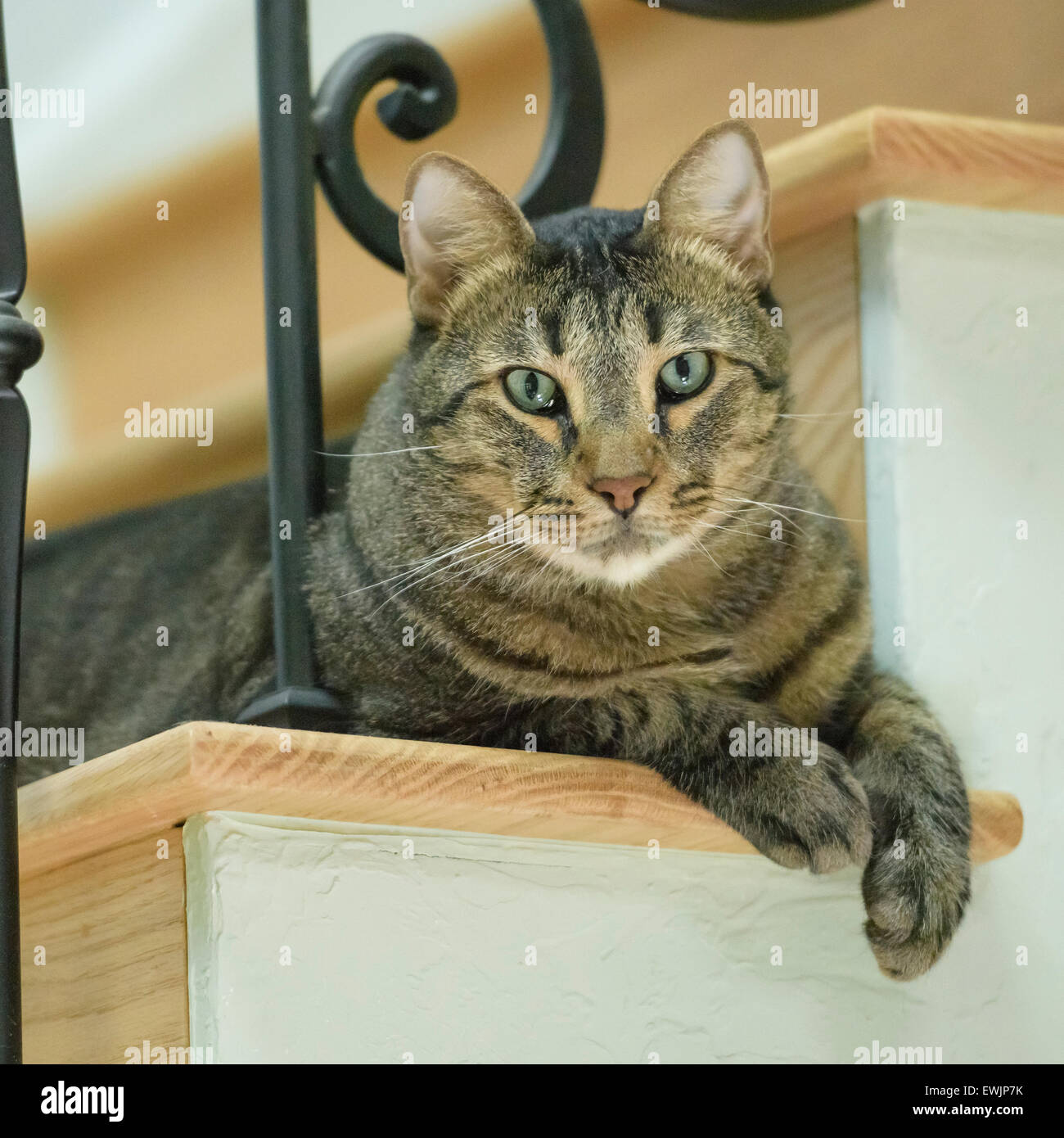 Domestic Gray Tabby male pet cat - Stock Image