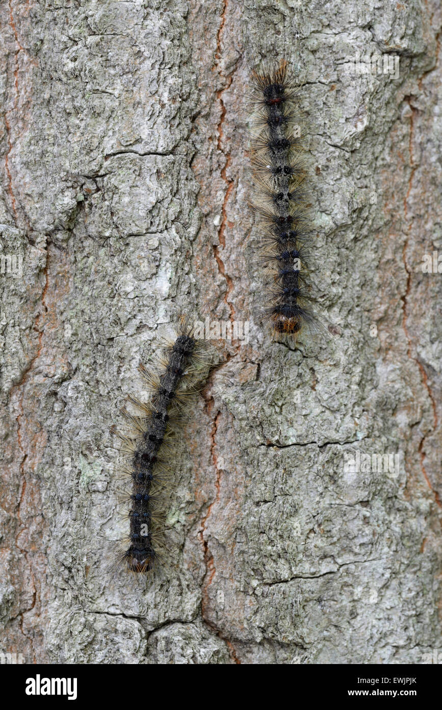 Gypsy moth caterpillars, Lymantria dispar, on trunk of tree, NJ, eastern N.A. - Stock Image
