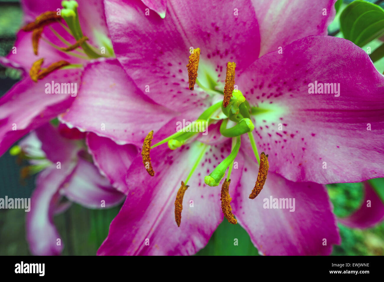 Close up of purple lily flowers with stamens and pollen stock photo close up of purple lily flowers with stamens and pollen izmirmasajfo