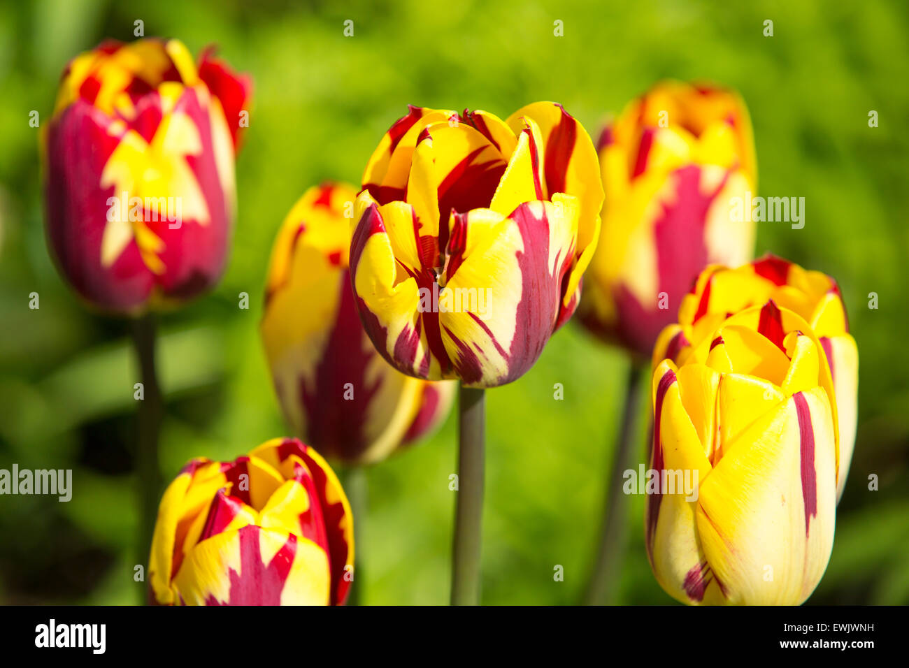 Red and yellow tulips growing in Holehird Gardens, Windermere, UK. Stock Photo