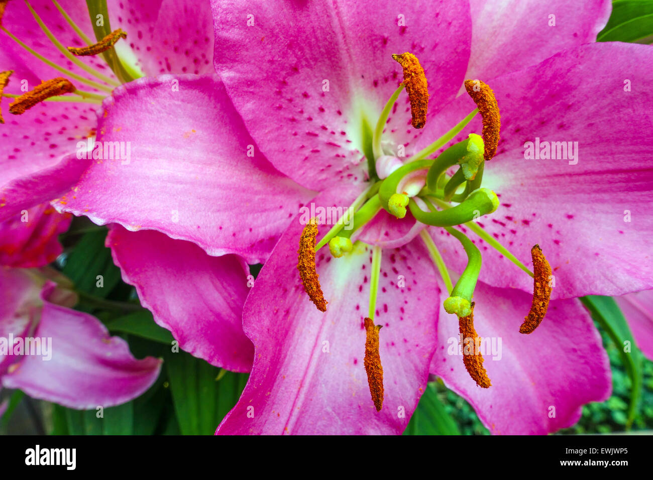 Purple lily stock photos purple lily stock images alamy close up of purple lily flowers with stamens and pollen stock image izmirmasajfo