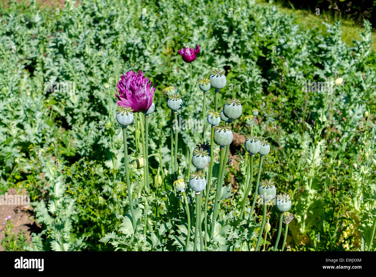Poppy flowers and seed heads opium drugs war on drugs heroin poppy flowers and seed heads opium drugs war on drugs heroin mightylinksfo