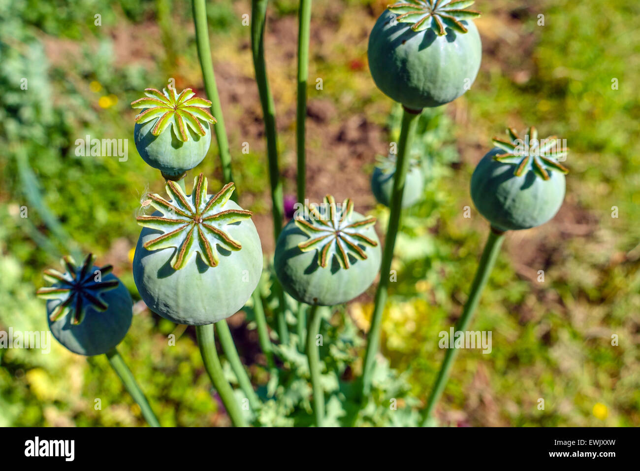 Poppy Seed Heads Opium Drugs Stock Photos Poppy Seed Heads Opium