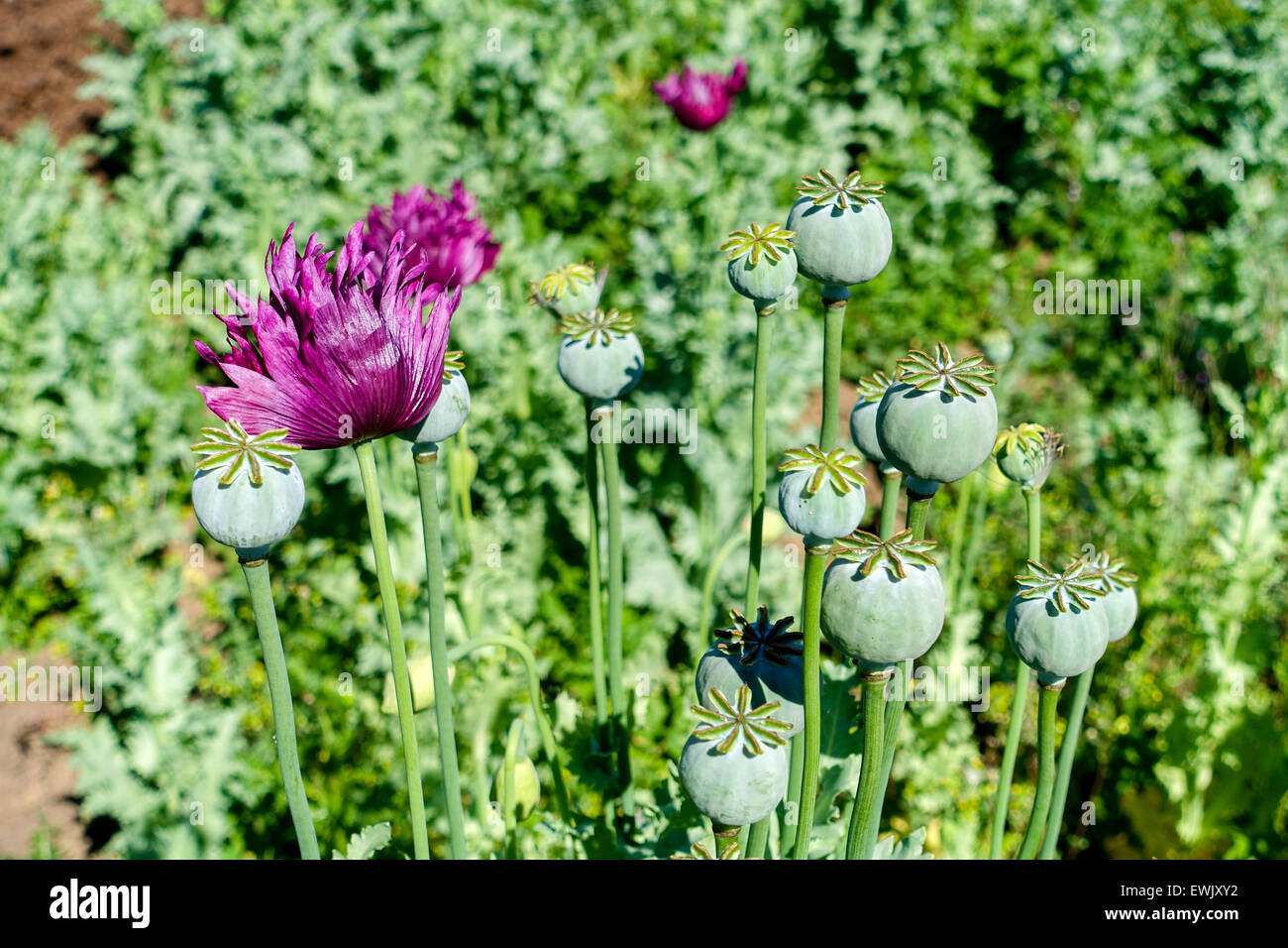 Heroin opium poppy stock photos heroin opium poppy stock images poppy flowers and seed heads opium drugs war on drugs heroin mightylinksfo